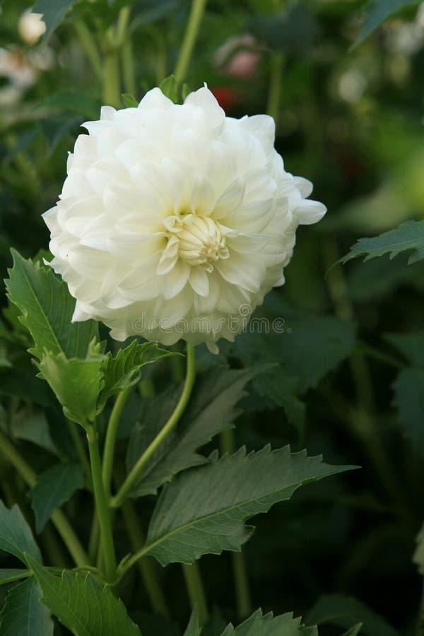 Dahlia Pinnata blanca imagenes de archivo