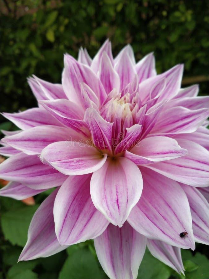 Dahlia Pinnata Flower royalty-vrije stock foto