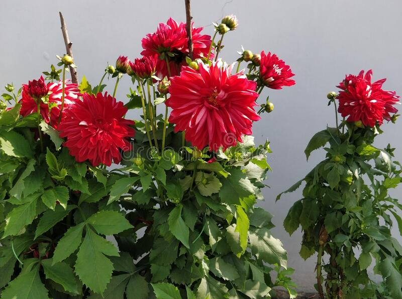Dahlia plants with red and light pink coloured dahlia flowers and buds in my garden royalty free stock photography