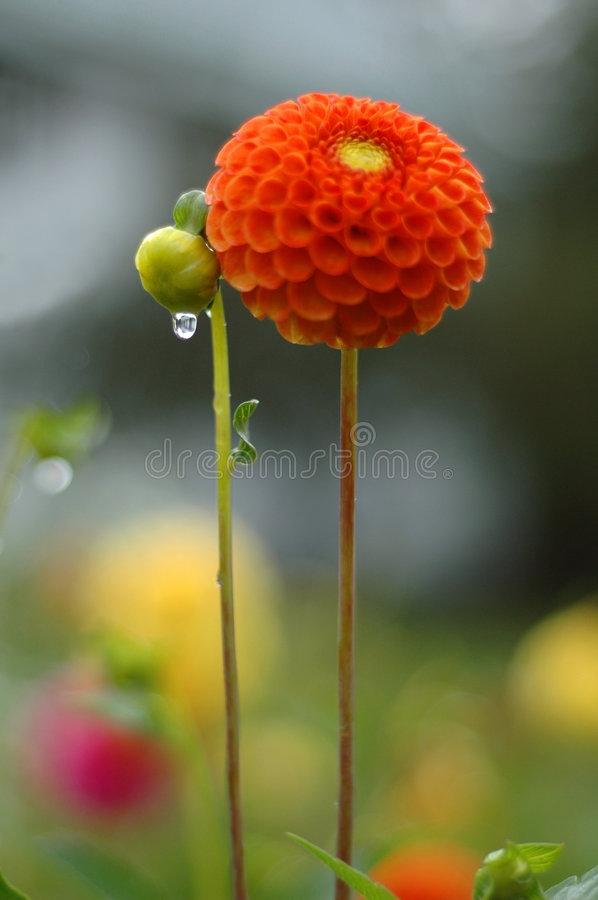 Dahlia in rain. Dahlia and bud in standing tall, with raindrops dripping royalty free stock photo