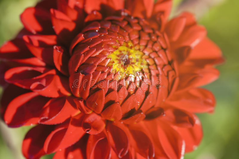 Download Dahlia - Red Blossom Stock Photo - Image: 83702628