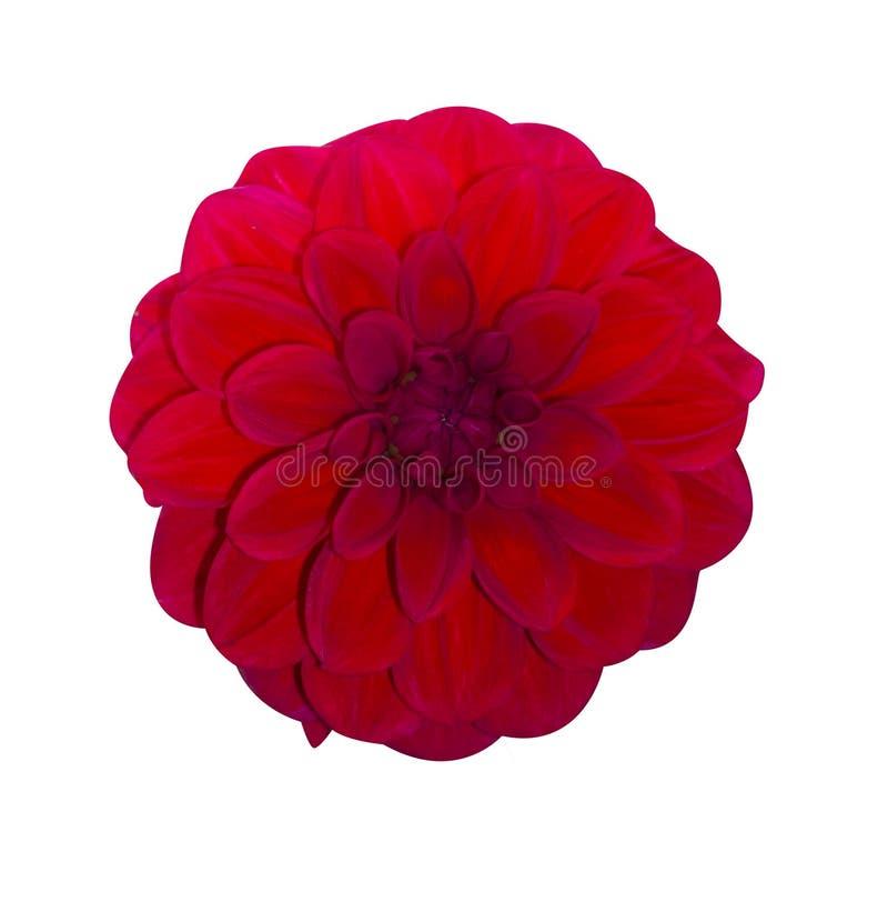 Dahlia Red isolou-se Flor bonita no fundo branco fotografia de stock