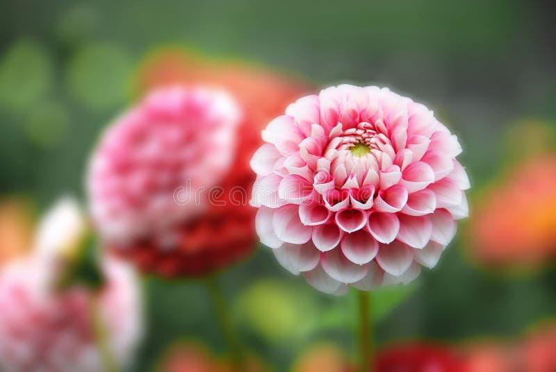 Dahlia rose photo stock
