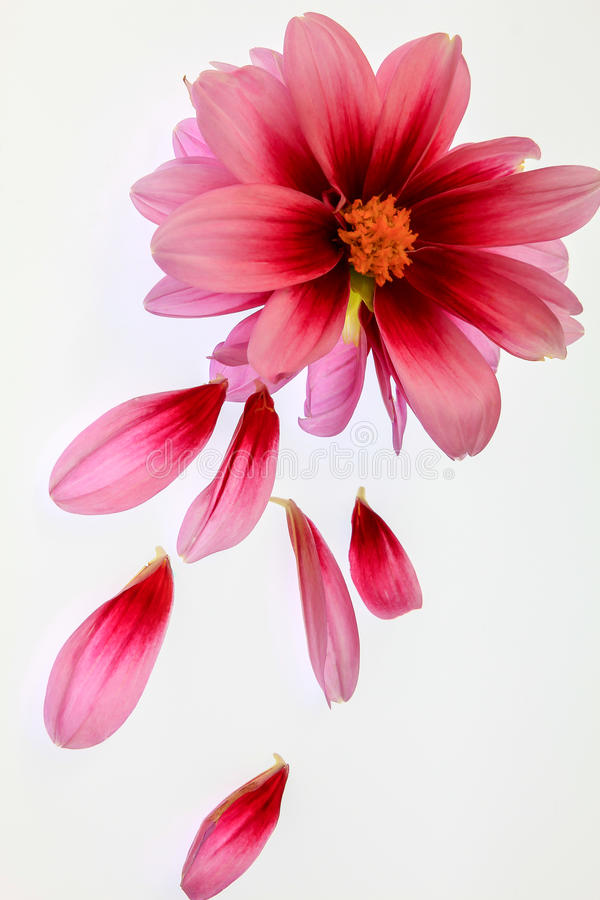 Dahlia rose images stock