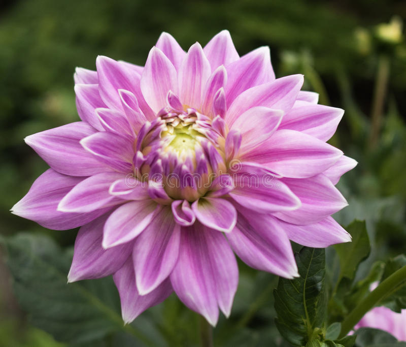 Dahlia rose image stock