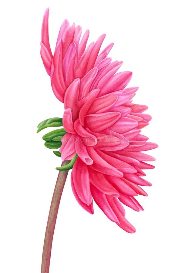 Dahlia rose d'aquarelle Plat botanique succulent - abandonnez le cactus, le figuier de barbarie et le cactus de saguaro Calibre p illustration de vecteur