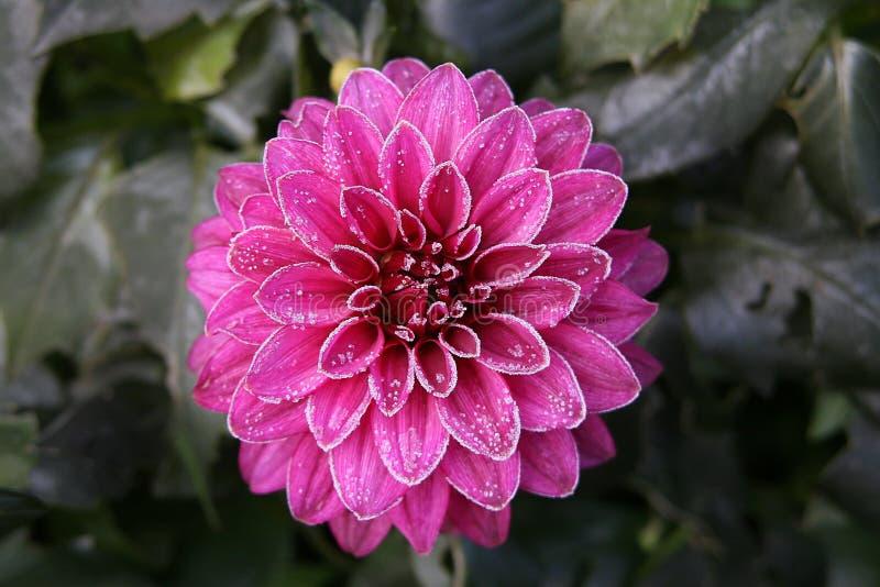 Dahlia rose givré photos stock