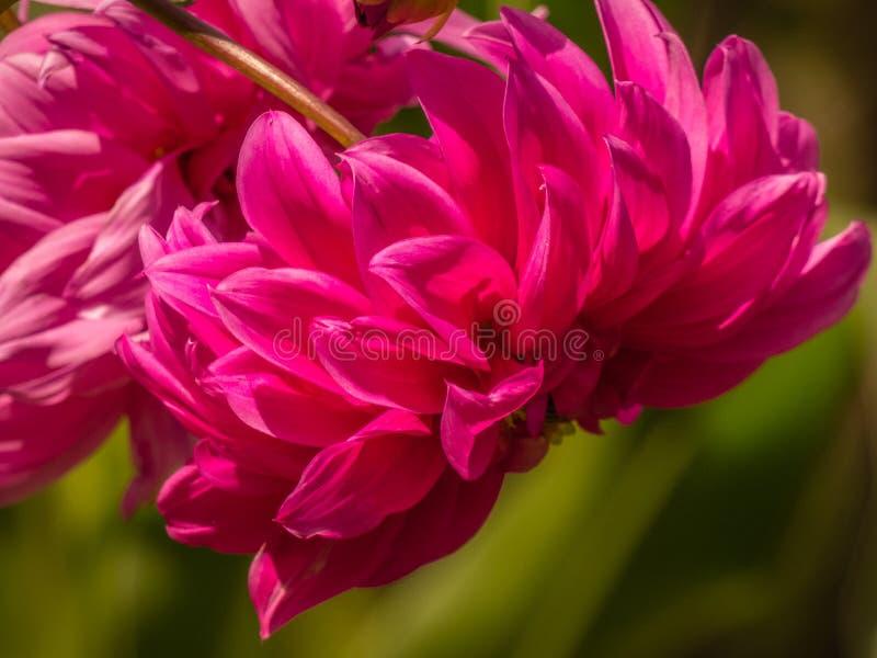 Dahlia Rosea röd anemon-blommad dahlia royaltyfri fotografi