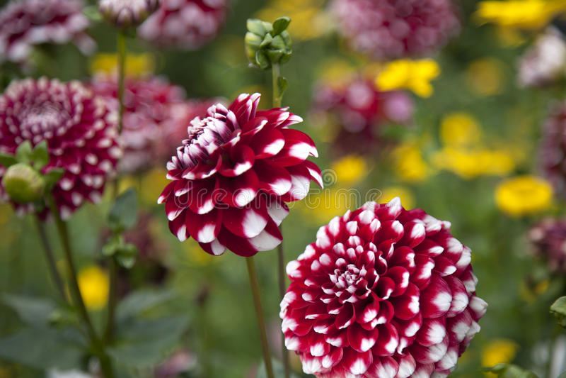 Dahlia rouge et blanc photographie stock