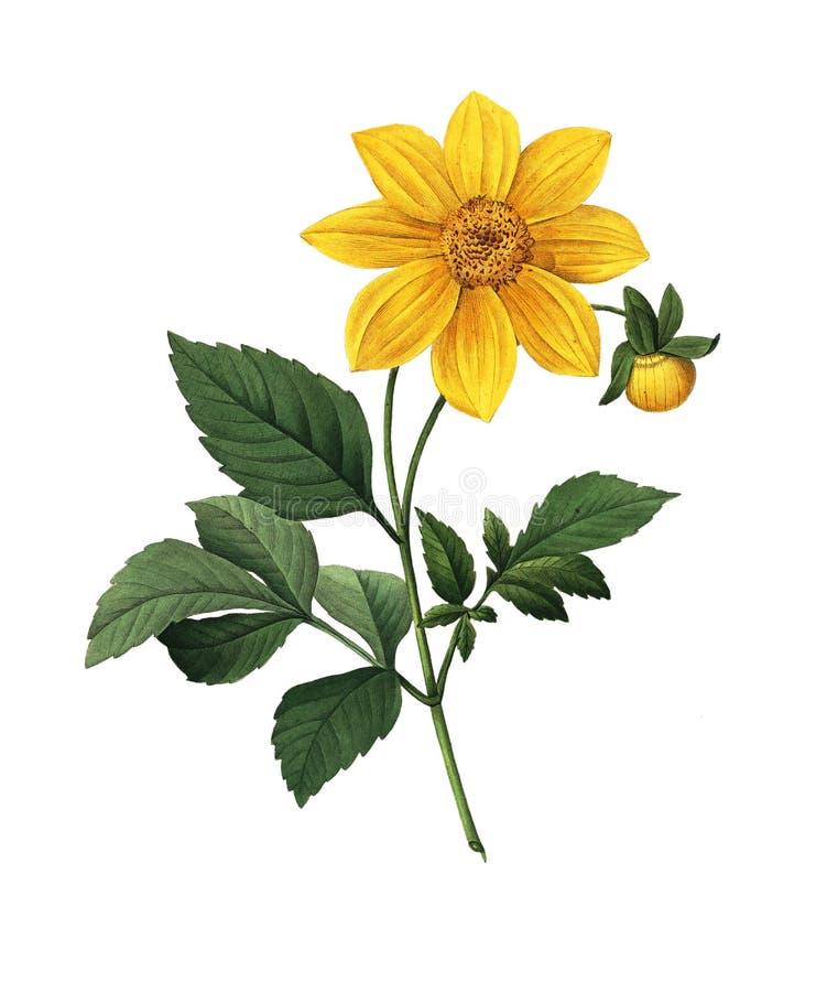Dahlia simple | Illustrations de fleur de Redoute illustration de vecteur