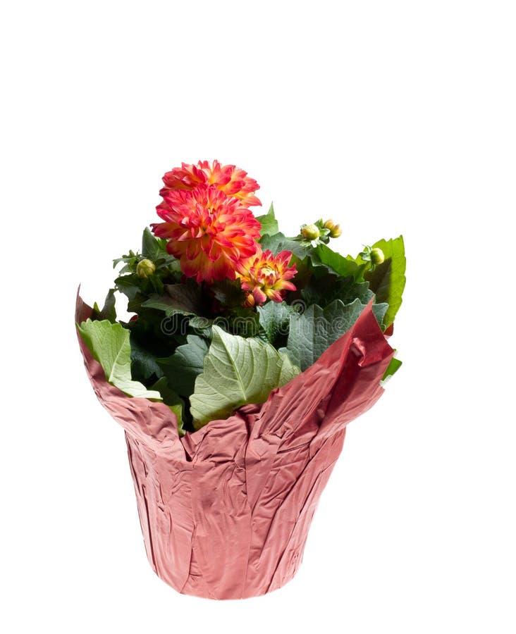 Dahlia som blommar i planter royaltyfri fotografi