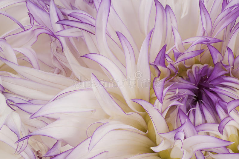Dahlia. Studio Shot of White Colored Dahlia Flowers Background. Macro. Symbol of Elegance, Dignity and Good Taste royalty free illustration