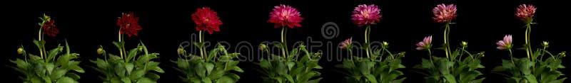 Dahlia tijd-Tijdspanne Reeks royalty-vrije stock foto's