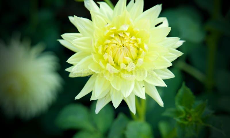 Dahlia Top Choice Flower sul fondo delle foglie verdi immagini stock