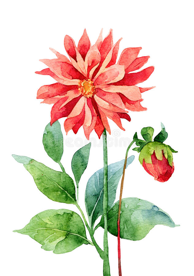 Dahlia. Two red dahlia isolated on white background. Watercolor illustration royalty free illustration