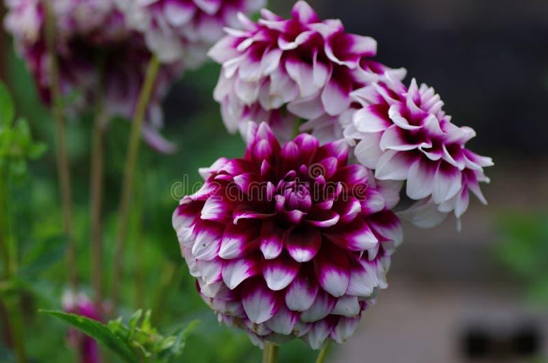 Dahlia variabilis. Photo of Dahlia variabilis flower in garden stock photos