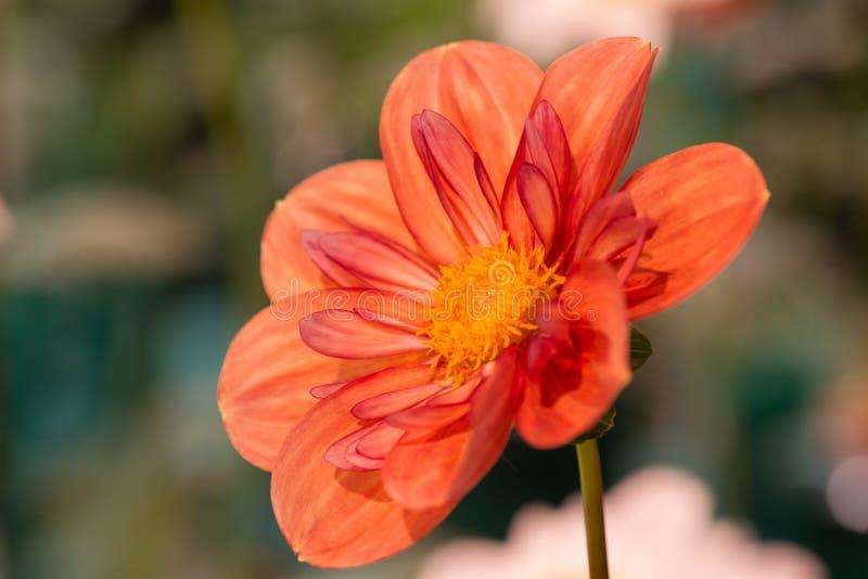 Dahlia vibrant de couleur orange et rouge image stock