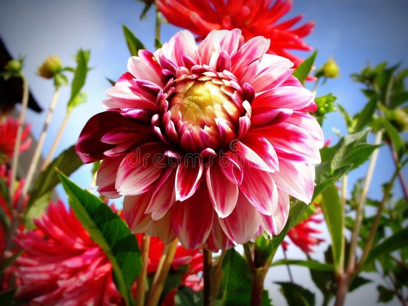 Download Dahlia stock image. Image of petal, pink, purit, green - 31049423