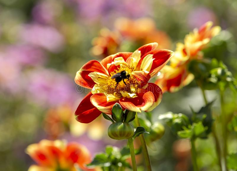 The Bumble Bee and the Dahlia royalty free stock image