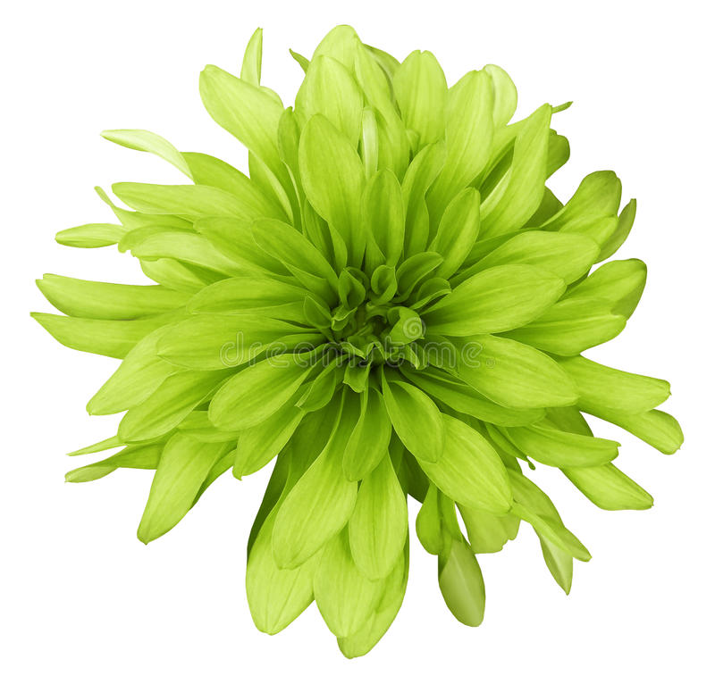 Dahlia yellow-green flower white background isolated with clipping path. Closeup. with no shadows. stock image