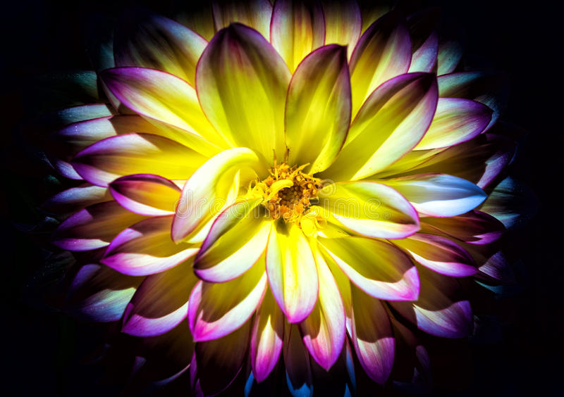 Dahlia, yellow and pink royalty free stock photography