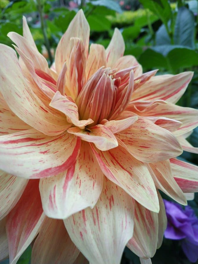 Dahlia Zinnias Flower stock afbeeldingen