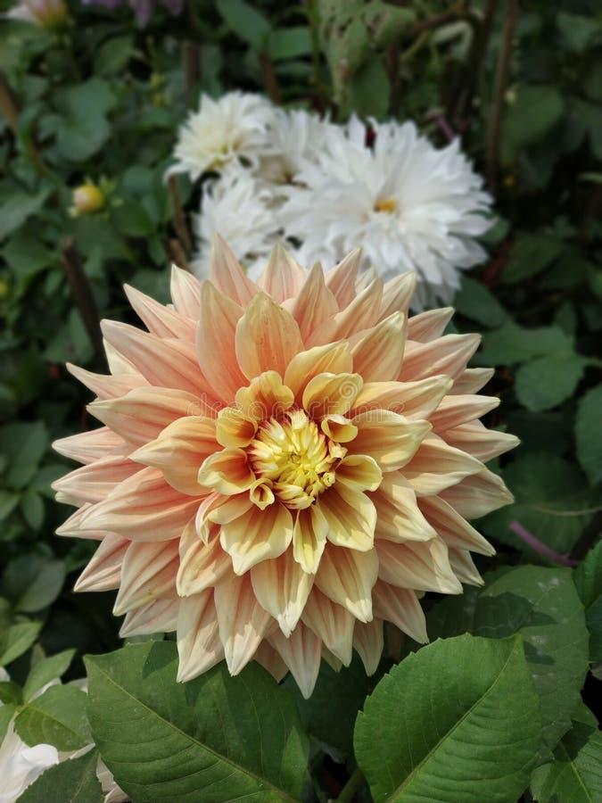 Dahlia Zinnias Flower stock foto