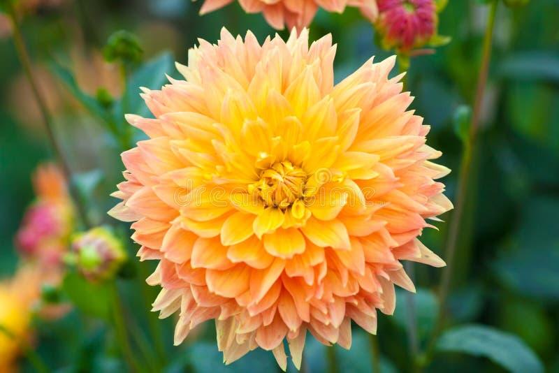 Download Dahliaapelsin Och Closeup För Full Blom För Gulingblommor Arkivfoto - Bild av green, blomma: 76701984