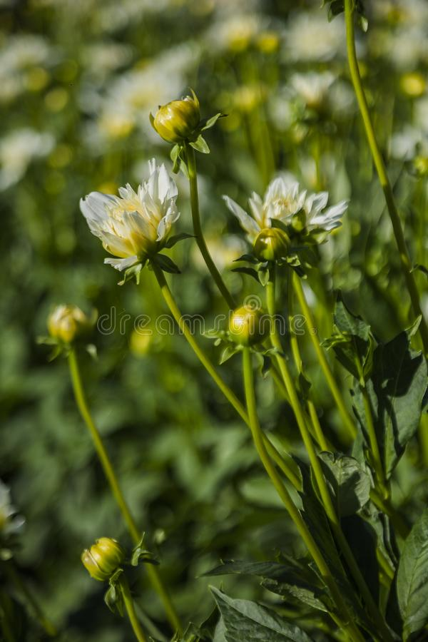 Dahliabloem op wild gebied wordt gekweekt dat royalty-vrije stock foto's