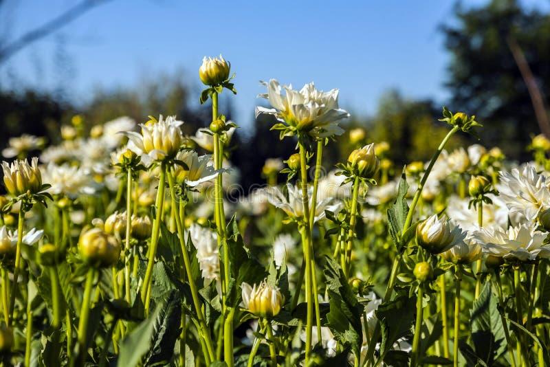 Dahliabloem op wild gebied wordt gekweekt dat stock fotografie