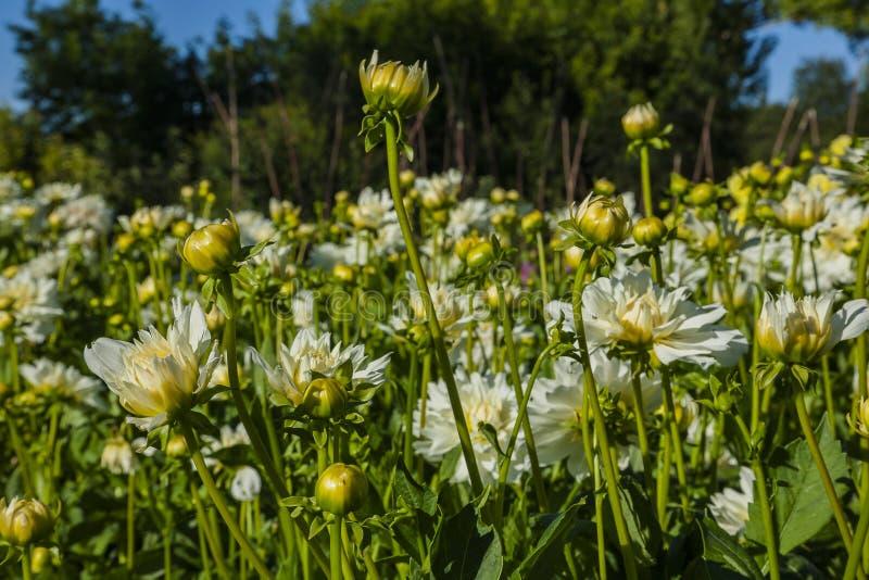 Dahliabloem op wild gebied wordt gekweekt dat royalty-vrije stock afbeelding