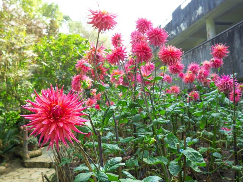 Dahliabloemen - de Dahlia's breiden het de zomer het bloeien seizoen uit en duren vaak tot de eerste vorst royalty-vrije stock foto's
