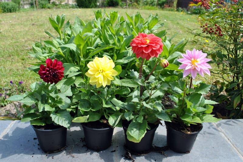 Dahliabloemen in de tuin royalty-vrije stock foto
