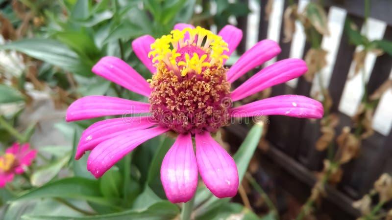 dahliabloemen in tuin stock afbeelding