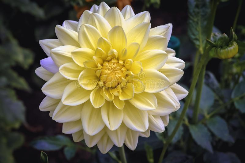 Dahliablomma i trädgård royaltyfri fotografi