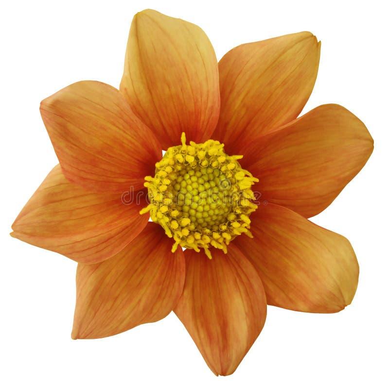 Dahliablommaapelsinen, vit isolerade bakgrund med den snabba banan closeup Inget skuggar För design åtta kronblad fotografering för bildbyråer
