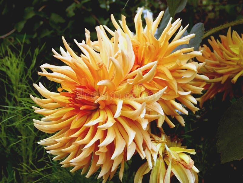 dahliaen blommar orangen royaltyfria foton
