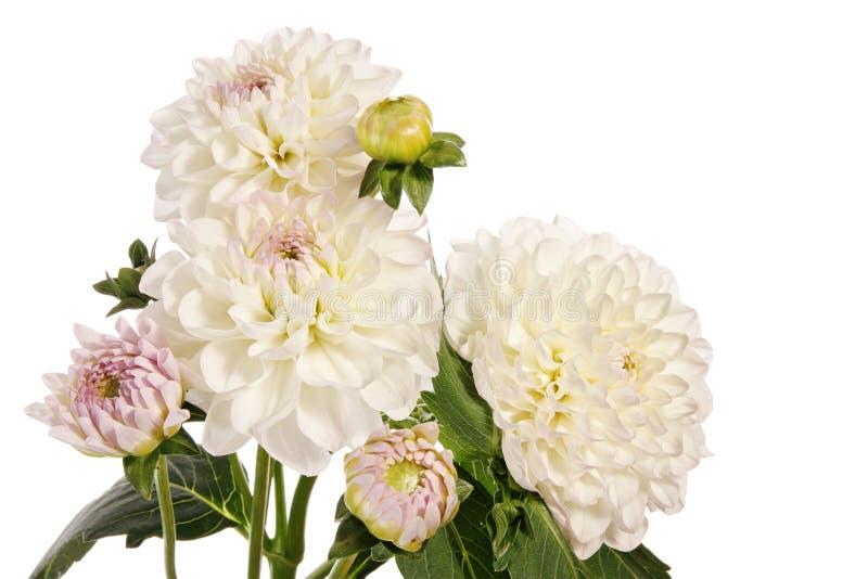dahliaen blommar white royaltyfria bilder