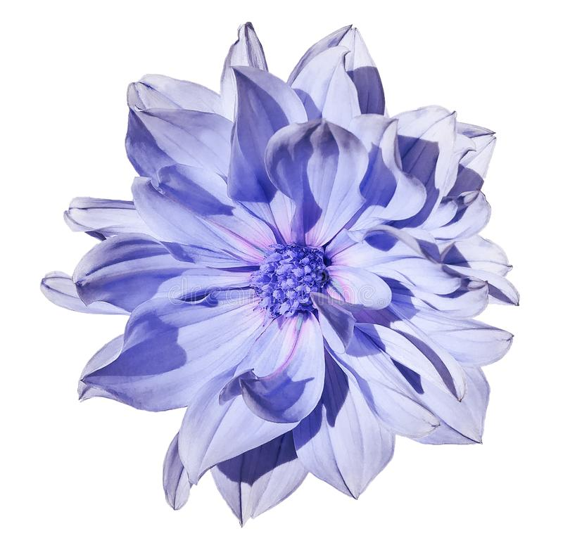 Dahlialjus - blå blomma på en isolerad vit bakgrund med den snabba banan closeup Inget skuggar royaltyfri foto