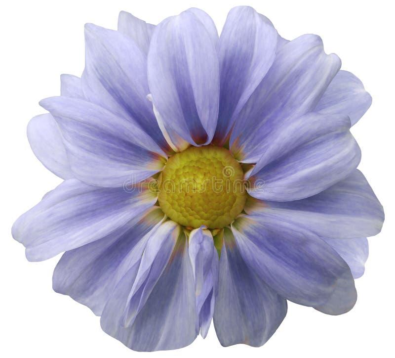Dahlialjus - blå blomma vit bakgrund som isoleras med den snabba banan closeup med inga skuggor arkivfoto