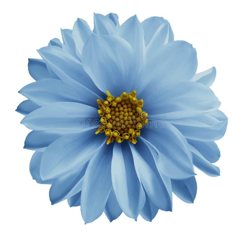 Dahlialjus - den blåa blomman på en vit isolerade bakgrund med den snabba banan Closeup inga skuggor Trädgårds- blomma royaltyfri fotografi