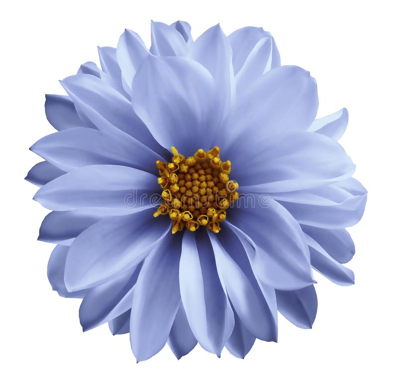 Dahlialjus - den blåa blomman på en vit isolerade bakgrund med den snabba banan Closeup inga skuggor Trädgårds- blomma arkivbilder