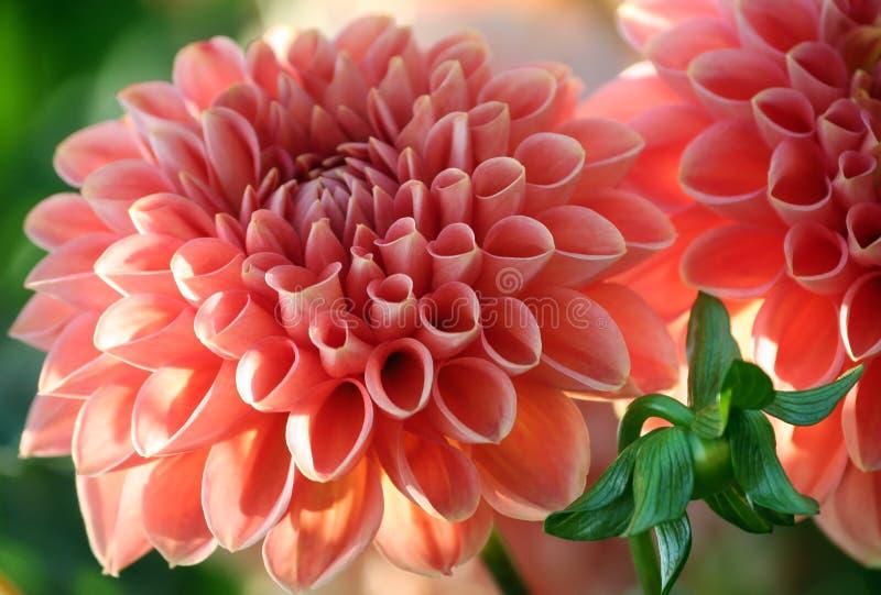 Dahlian linda s behandla som ett barn variation, ljust lax-färgat delikat för closeup arkivfoton