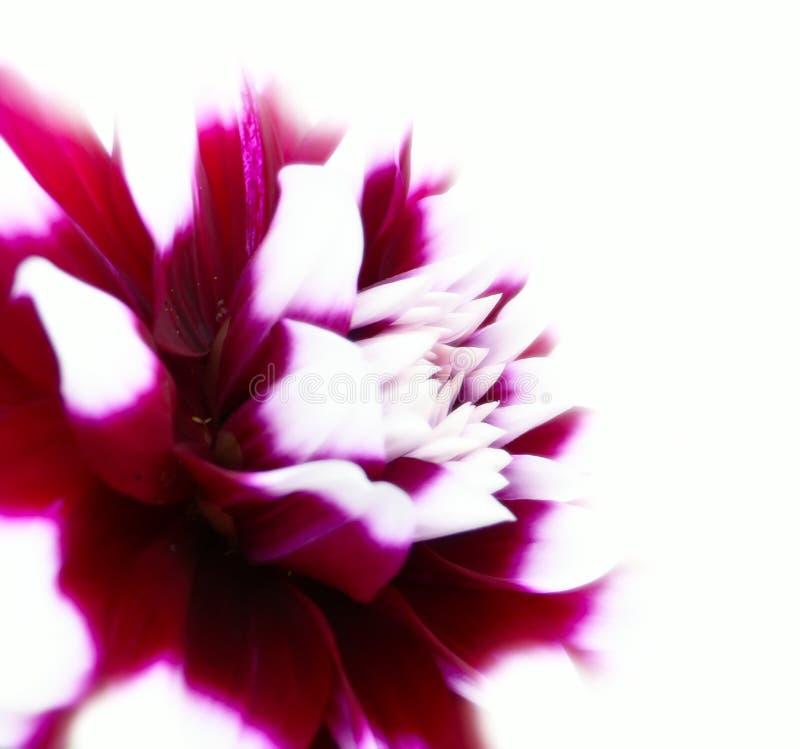 dahlias fotografering för bildbyråer