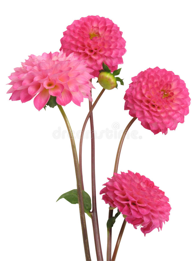 Dahlias stock image