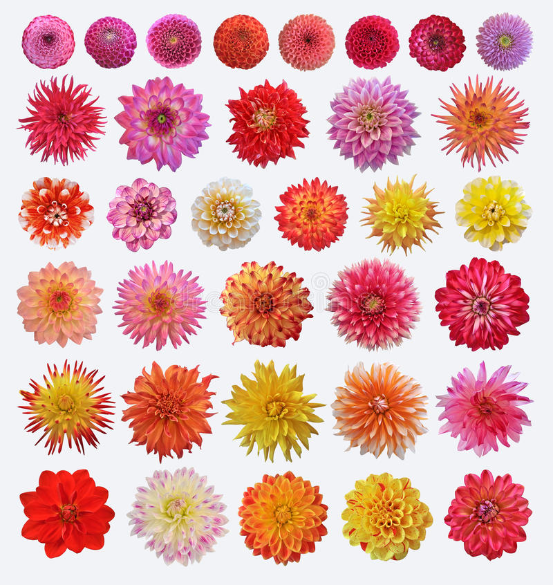 Download Dahlias stock photo. Image of multi, pink, isolated, plant - 25697106