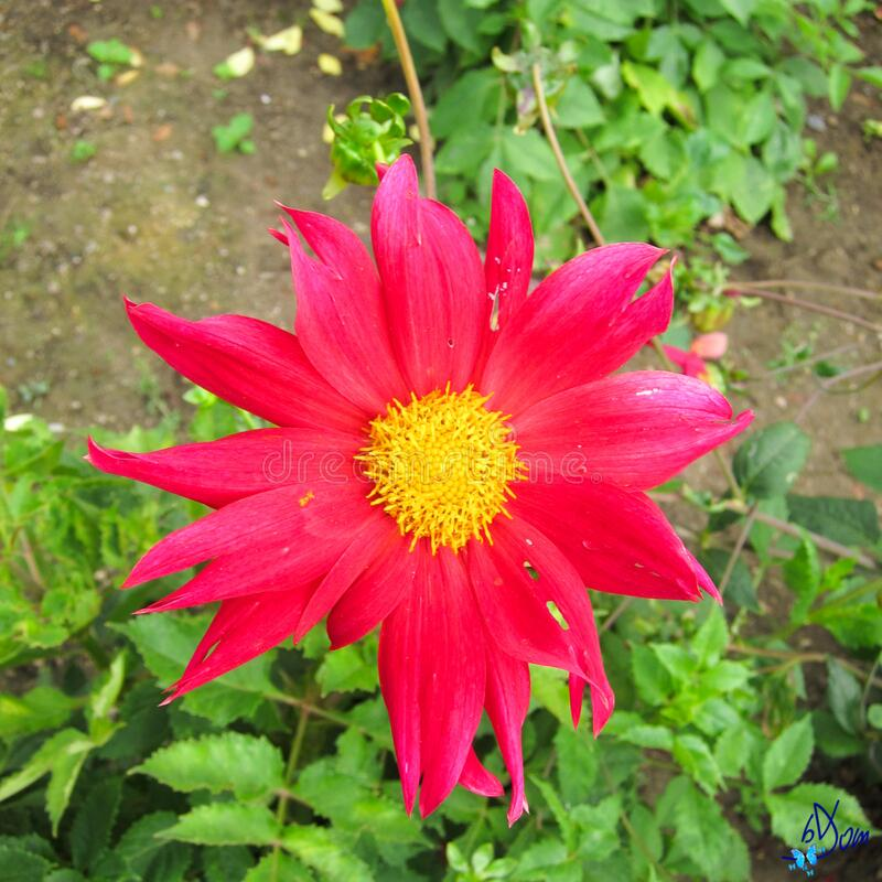 Dahlias royalty free stock photography