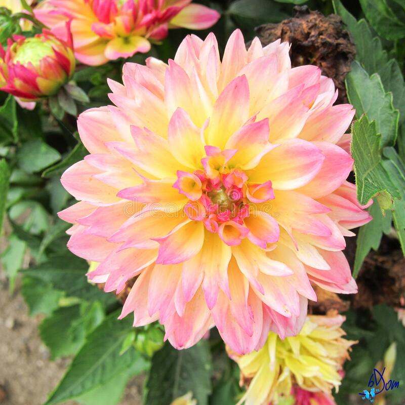 Dahlias stock photography