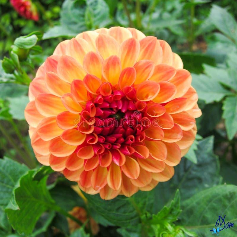 Dahlias Free Public Domain Cc0 Image