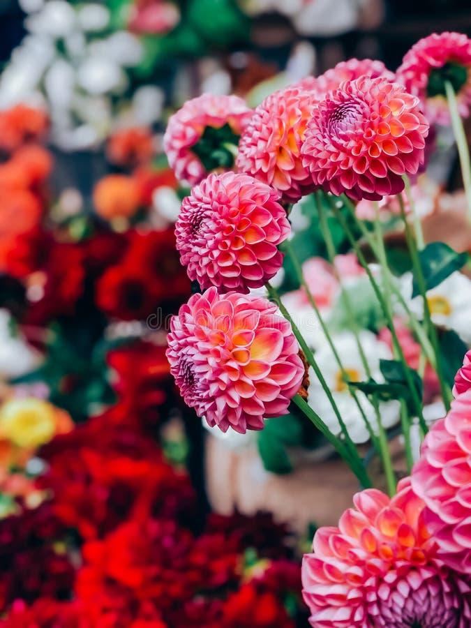 Dahlias bloedig in kleine bloemetjes stock foto's